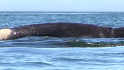 Baby Southern Right Whale Trying to Roll onto Mom Footage