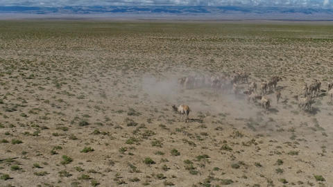 Group of Camels in the Mongolia Desert Footage