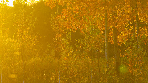 magical glade with young trees golden birch under sunlight Footage
