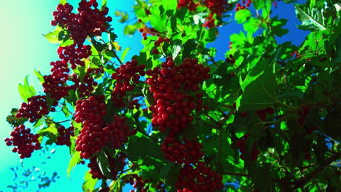 wind shakes large shrub with red viburnum bunches Footage