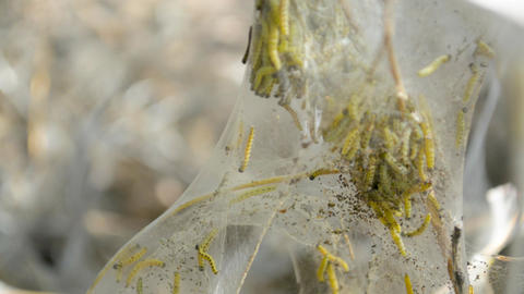 Catepillar butterfly larva worms insige big web bag on the tree close-up Footage
