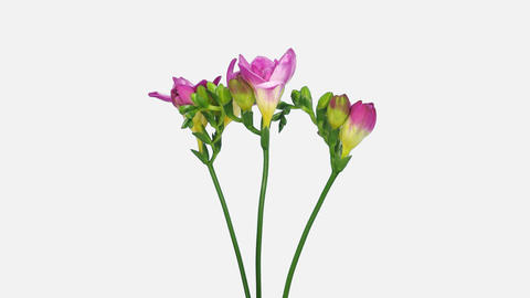 Time-lapse of opening pink freesia bouquet, 4K with ALPHA channel Footage