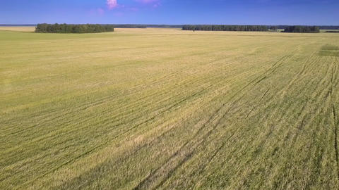 drone descends over yellow field to forest under blue sky Footage