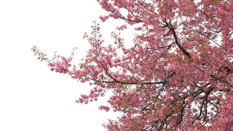 Pink Sakura cherry blossom on white background Footage