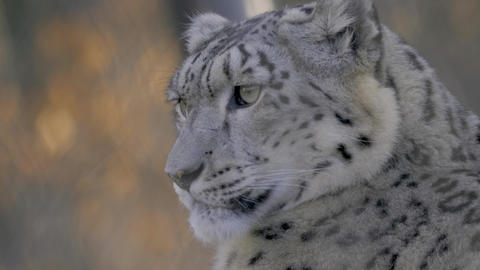 Close up of snow leopard's head Footage