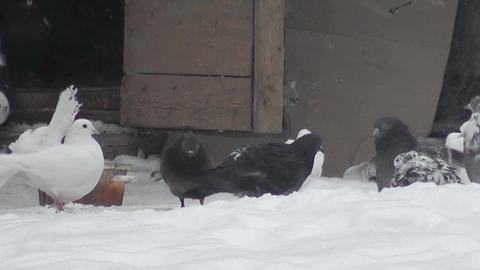 pigeons winter Footage