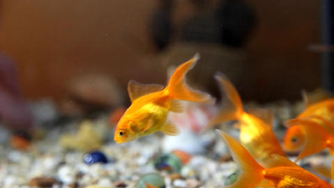 Gold fish Stock Video Footage