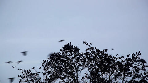 Crows Stock Video Footage
