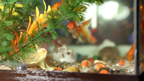 Goldfish Footage