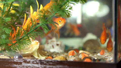 Goldfish Stock Video Footage