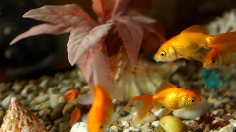 Goldfish Stock Video Footage