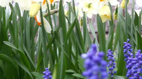 daffodils Footage