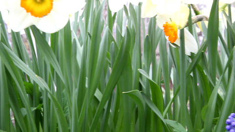 daffodils Stock Video Footage
