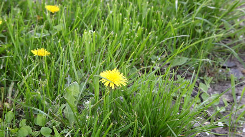Dandelion Stock Video Footage