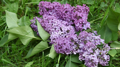 Lilac Stock Video Footage