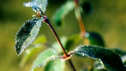 Morning dew 7 Footage