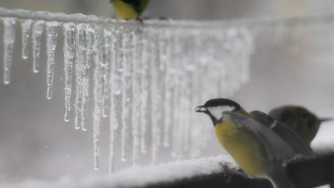 Winter birds 003 Stock Video Footage