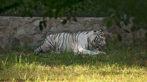 Tiger family Stock Video Footage