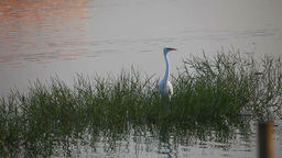 Heron Stock Video Footage