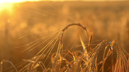 Head of Barley against the Setting Sun Stock Video Footage