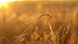 Head of Barley against the Setting Sun Footage