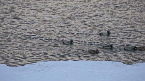 Mallard ducks swimming 01 Stock Video Footage