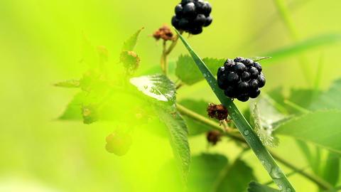 Blackberries Stock Video Footage