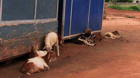 Goats in Adomorobe, a small village in Ghana Footage