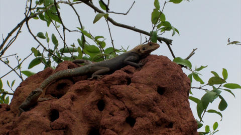 Two lizards on a termite hill in Ghana Footage