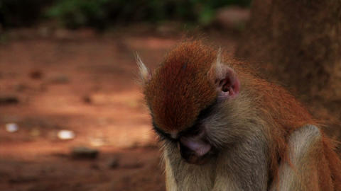 Close up of an African monkey nibbling on some food Footage