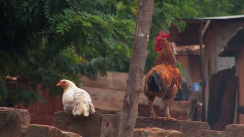 Rooster crowing next to a chicken on a rock wall Footage