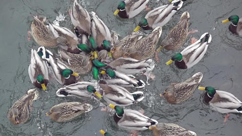 Duck Life in the Pond. Slow Motion Footage