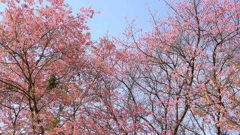 Sakura cherry blossom tree on blue sky at park Footage