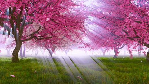 Pink sakura cherry trees in blossom slow motion Footage