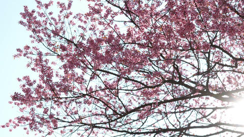 Sakura cherry blossom on tree with rays of sunlight shining through the branches Live Action