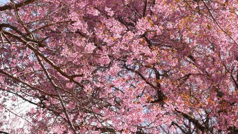 Pink Sakura flowers tree are blossoming Footage