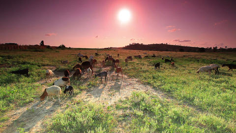 Herd of goats grazing in Kenya at sunrise Footage