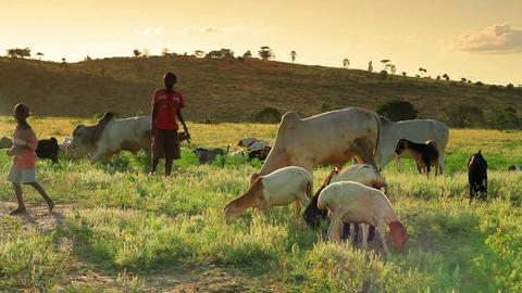 Two Kenyan boys herding goats and cows Footage