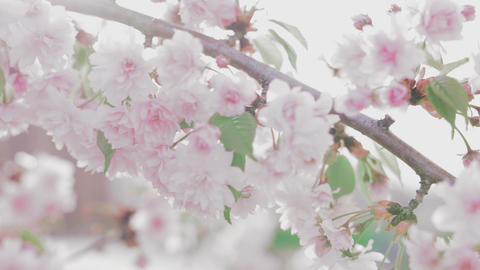 Blooming pink Japanese Sakura branch Footage