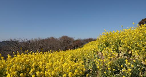 Canola flower garden at Azumayama park in Shounan Kanagawa panning Footage