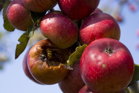 Italian typical rotten apple on the tree in my garden Photo