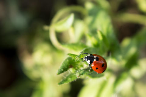 Macro photo of Ladybug in the green leaf-2 フォト