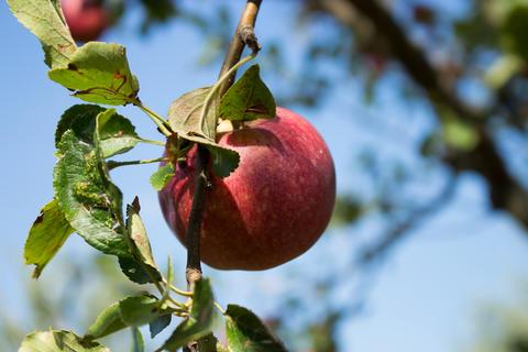 Italian typical rotten apple on the tree in my garden-2 Photo