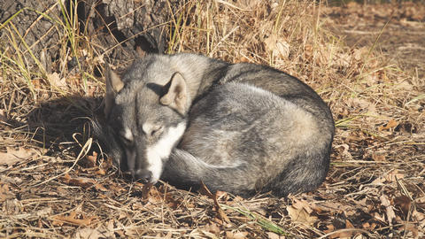 West Siberian Laika sleeps under a tree on dry leaves Live Action