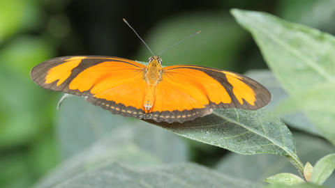 Orange and black butterfly, barely moving its wings Live Action