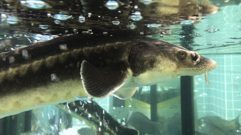 Sturgeon in the aquarium 002 Footage