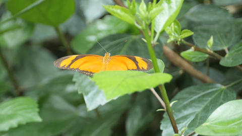 Orange and black butterfly gently flutters its wings Live Action