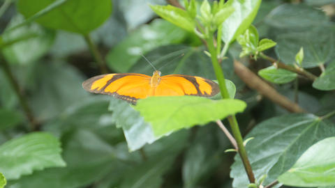 Orange and black butterfly gently flutters its wings Stock Video Footage