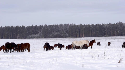 Horses on a snowy field Footage