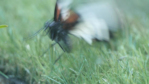 Butterfly in panic Live Action